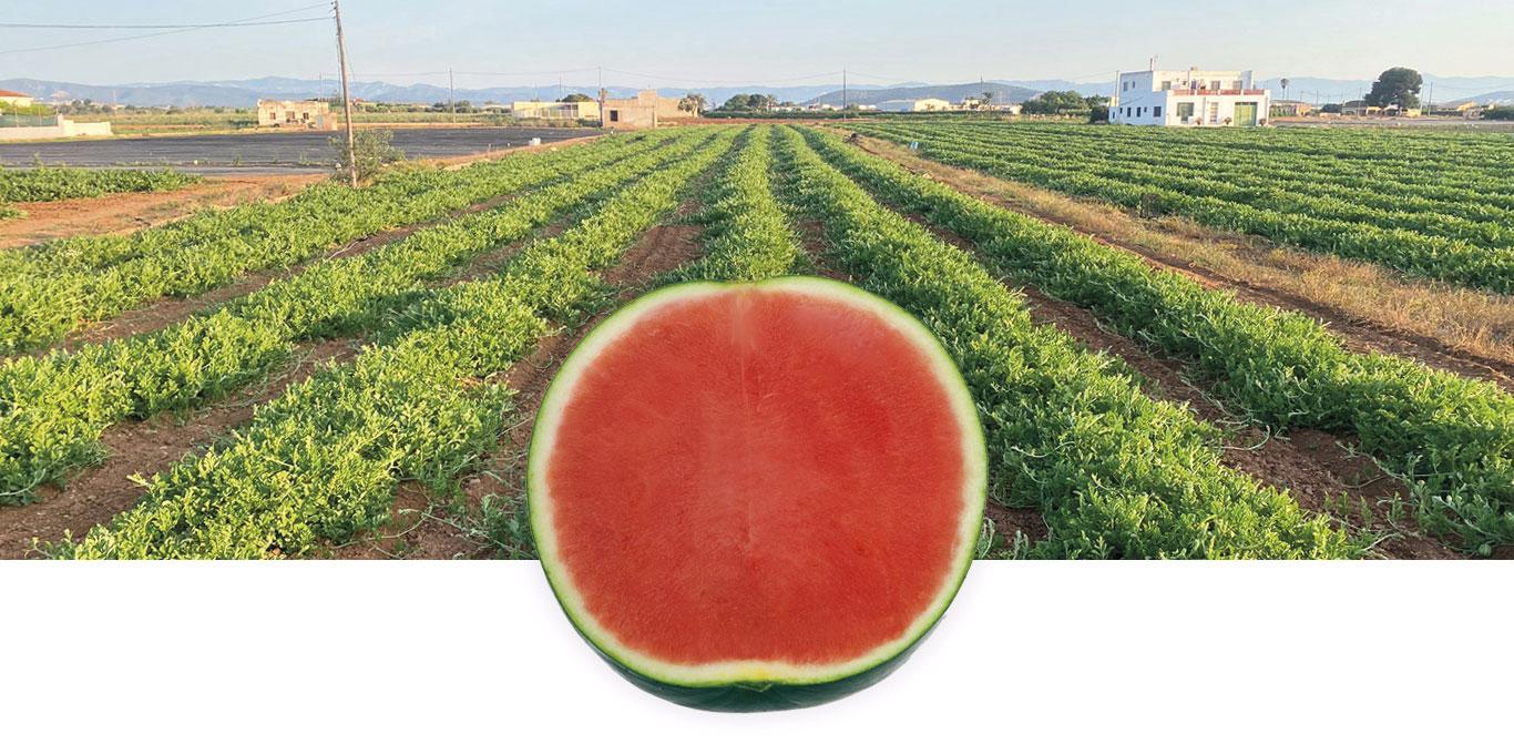Belgi organic watermelon field